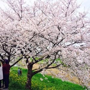 桜-thumb-300x300-99